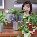 L'entretien des plantes en pot durant la saison estivale